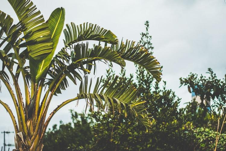 Contoh Tumbuhan Monokotil