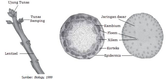 Perbedaan Batang gymnospermae dan angiospermae
