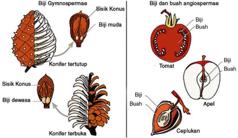 Perbedaan Biji Gymnospermae dan Angiospermae