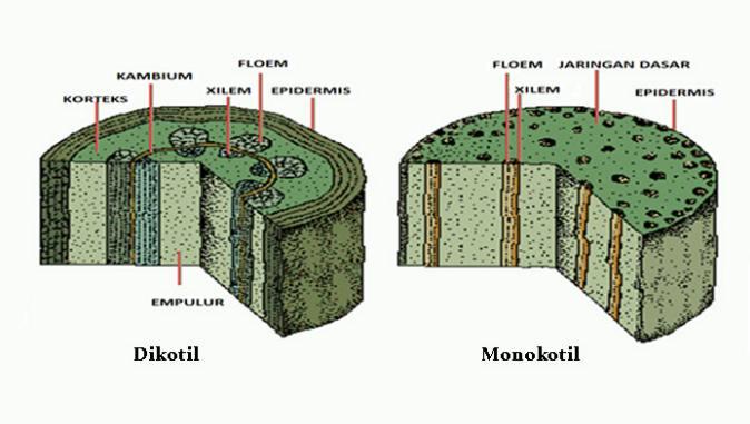 Perbedaan Dasar Tumbuhan Dikotil dan Monokotil