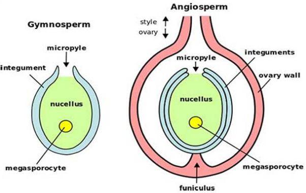 Perbedaan Ovarium gymnospermae dan angiospermae