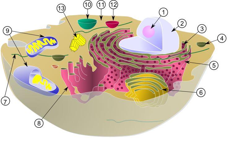 Organel Sel hewan yang Tidak Dimiliki oleh Sel Tumbuhan