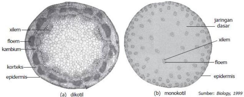 Perbedaan Struktur Penampang Melintang Tumbuhan Dikotil dan Monokotil