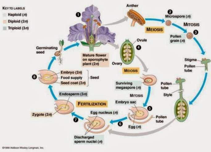 Siklus Hidup Angiosperma
