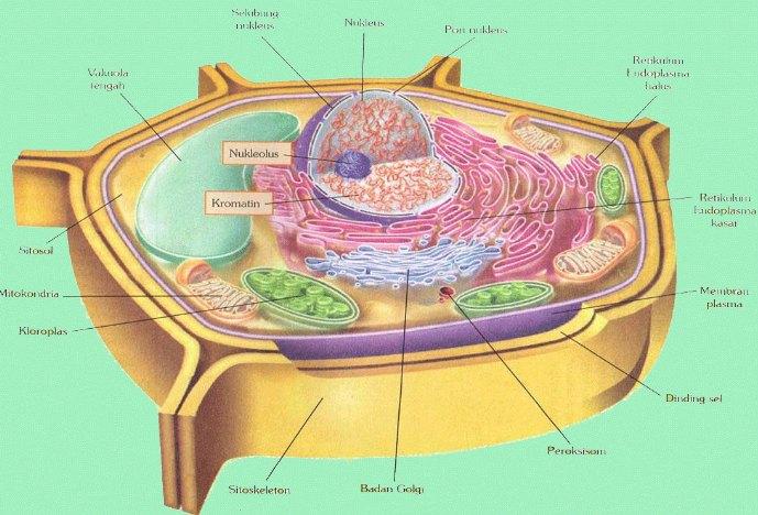 Struktur Organel Sel Tumbuhan