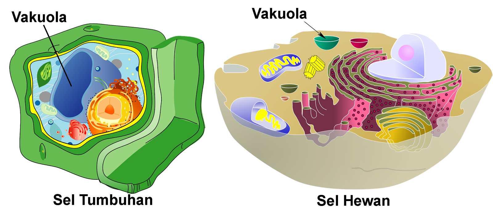 Vakuola atau Rongga Sel